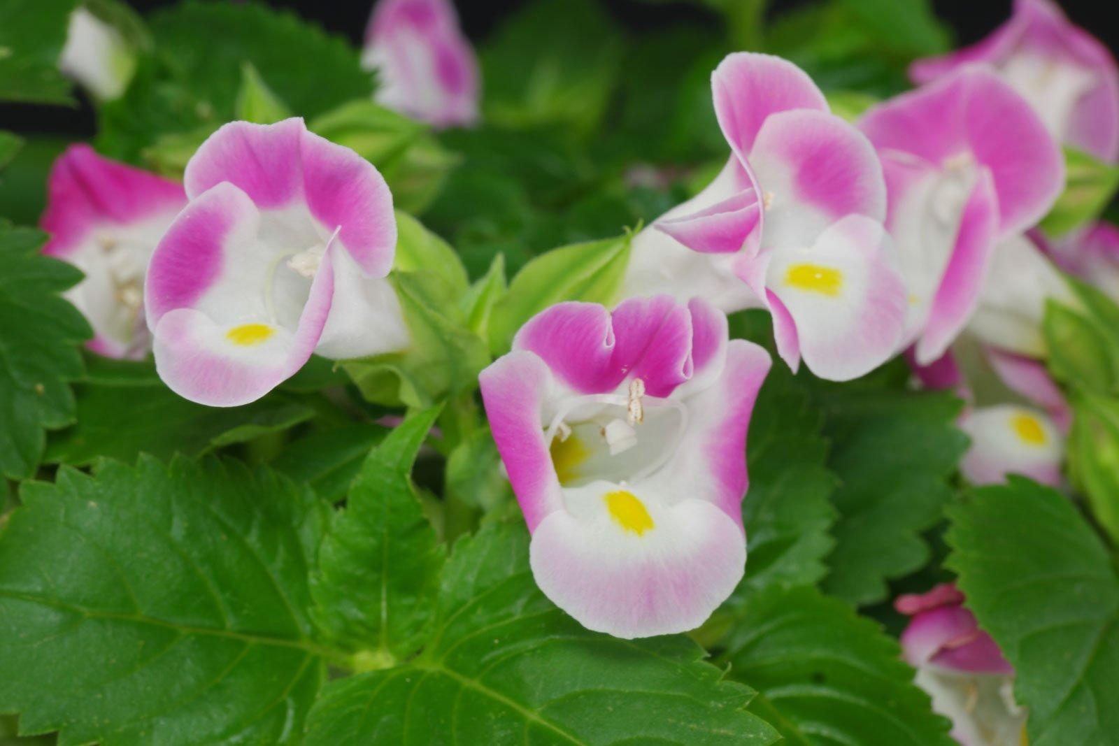 Torenia fournieri cv.