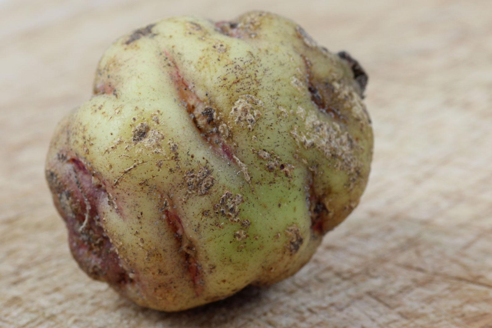 Tropaeolum tuberosum