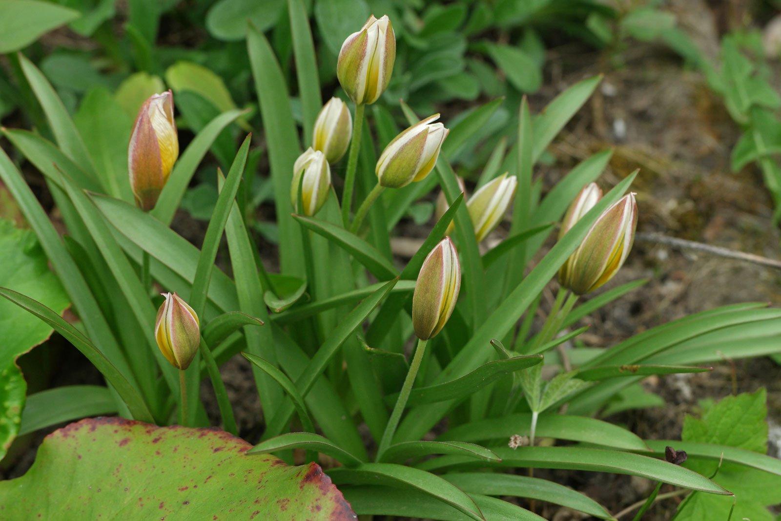 Tulipa urumiensis syn. tarda