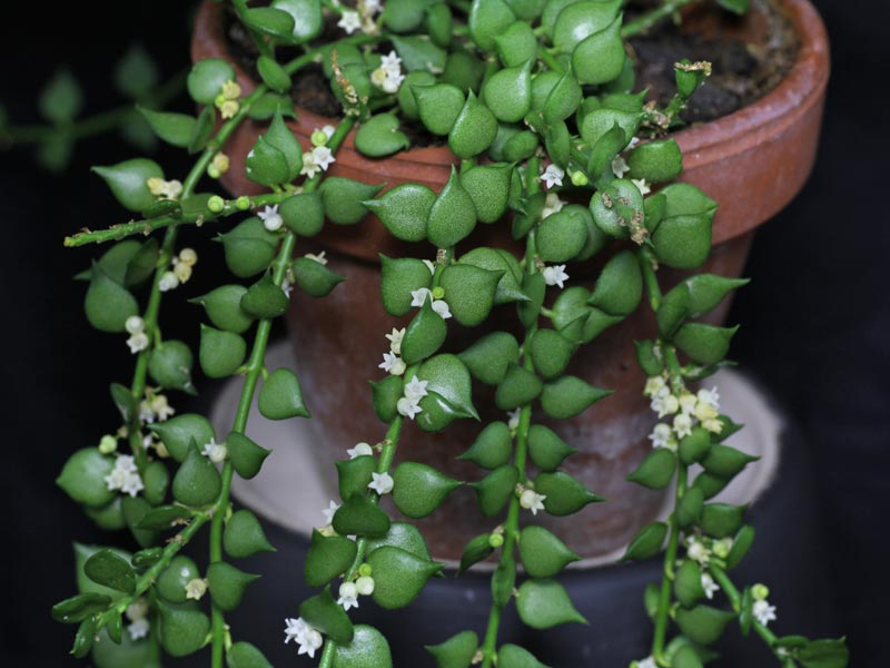 Urnenpflanze