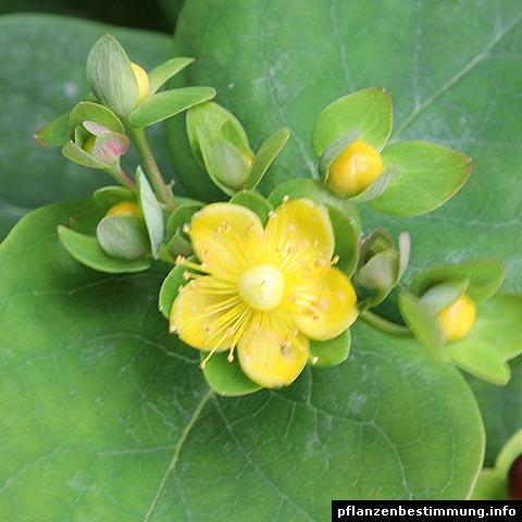 hypericum androsaemum