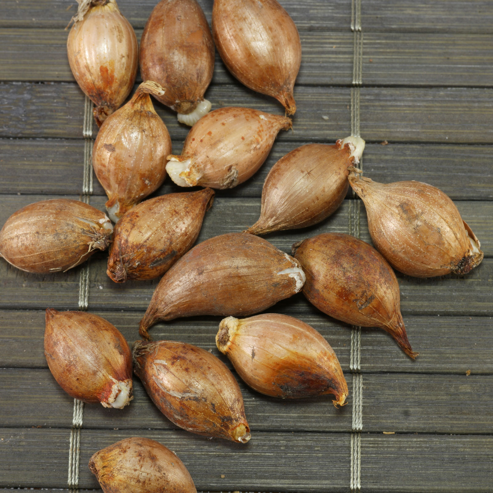 Ixiolirion tataricum