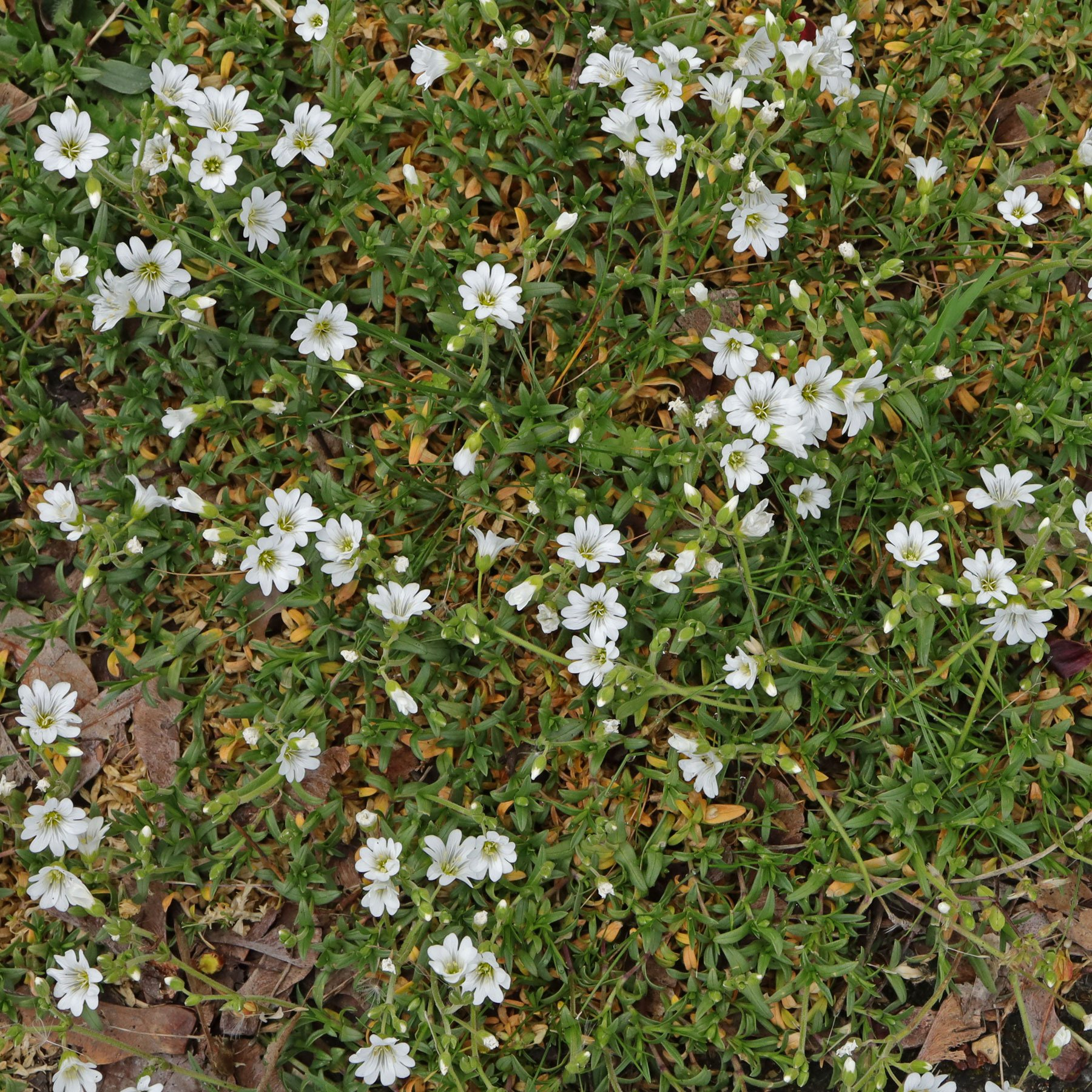 Cerastium arvense ssp arvense 1