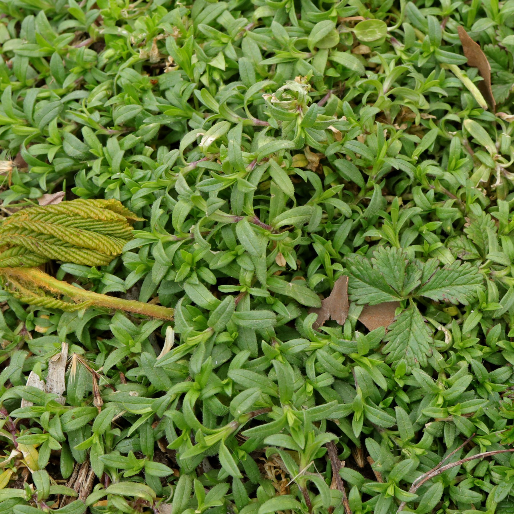Cerastium arvense ssp arvense 4