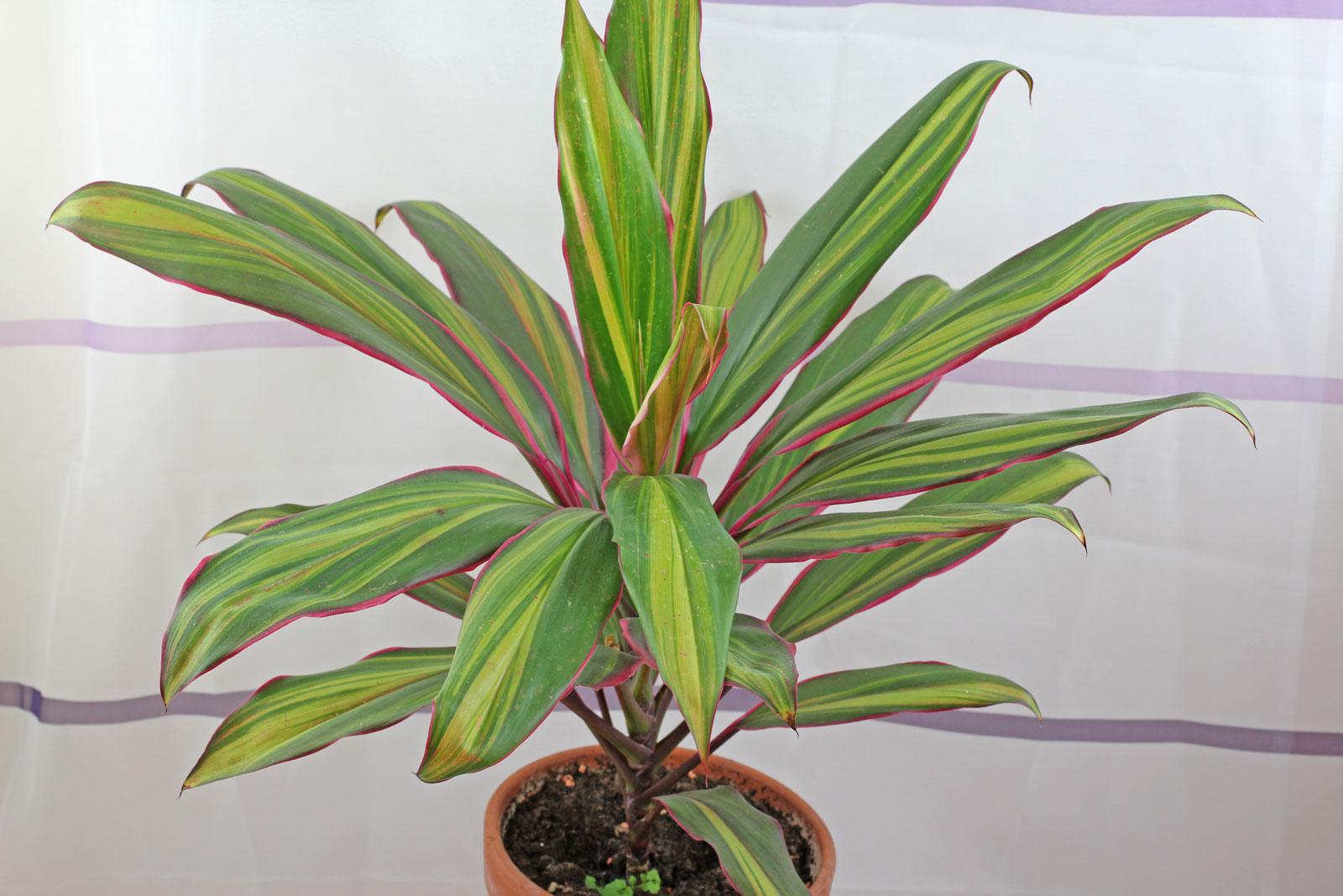 Cordyline fruticosa Kiwi
