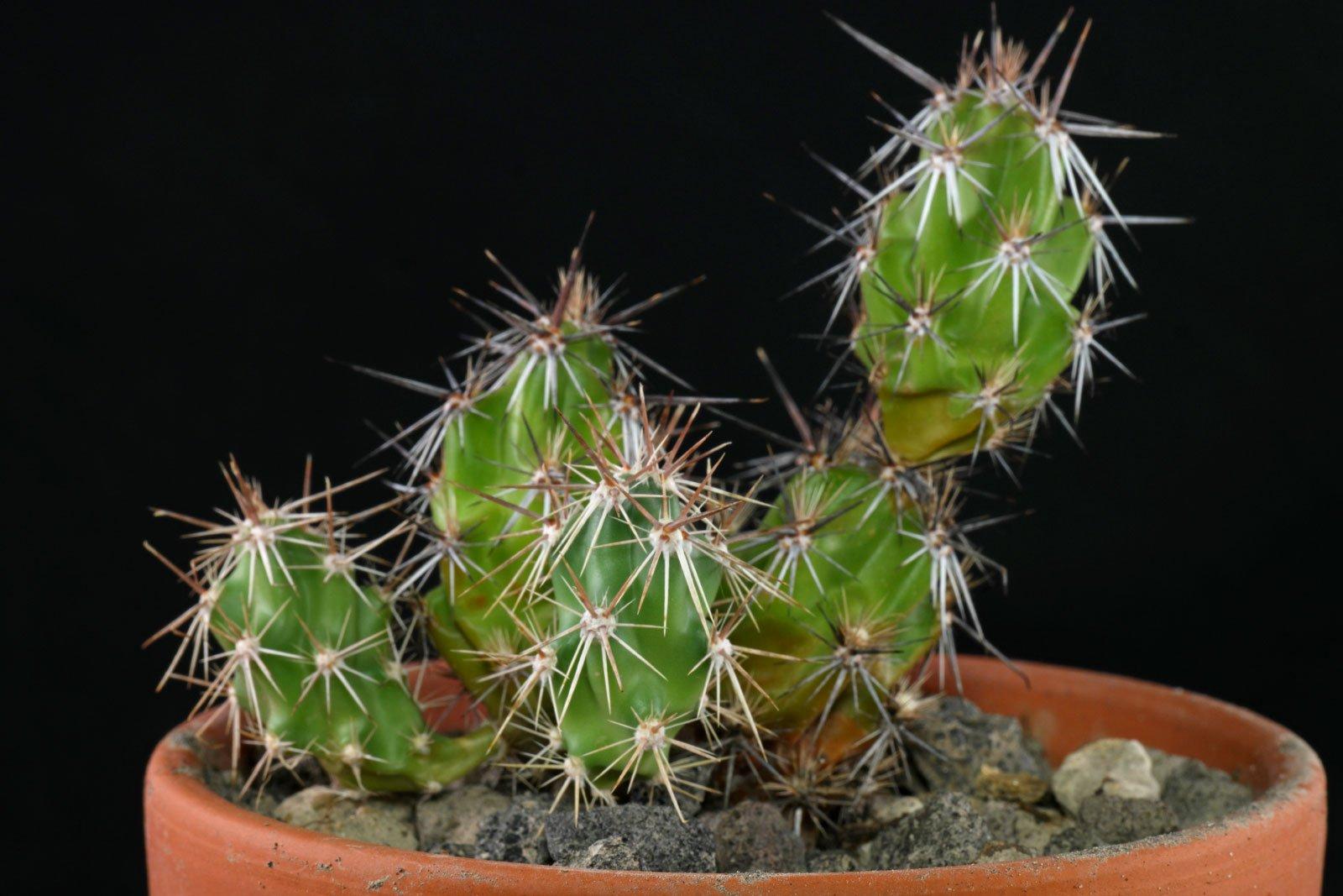 Corynopuntia grahamii