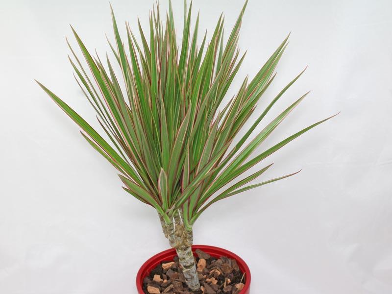 Dracaena reflexa angustifolia