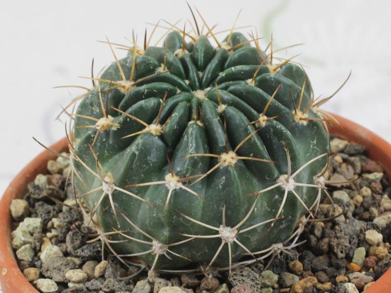 Echinopsis ancistrophora cardenasiana