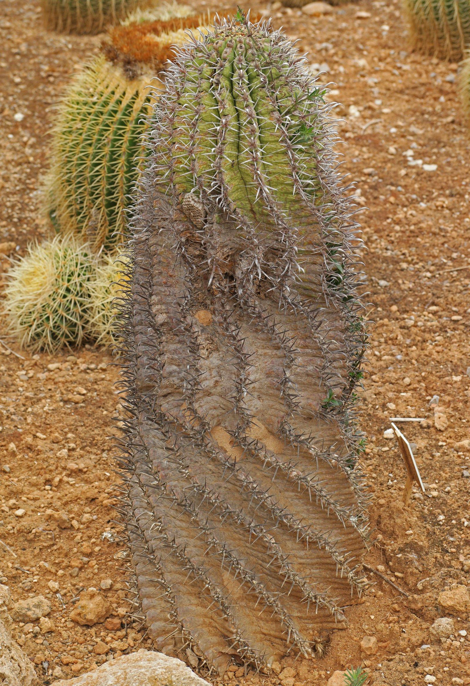 Ferocactus latispinus ssp. spiralis