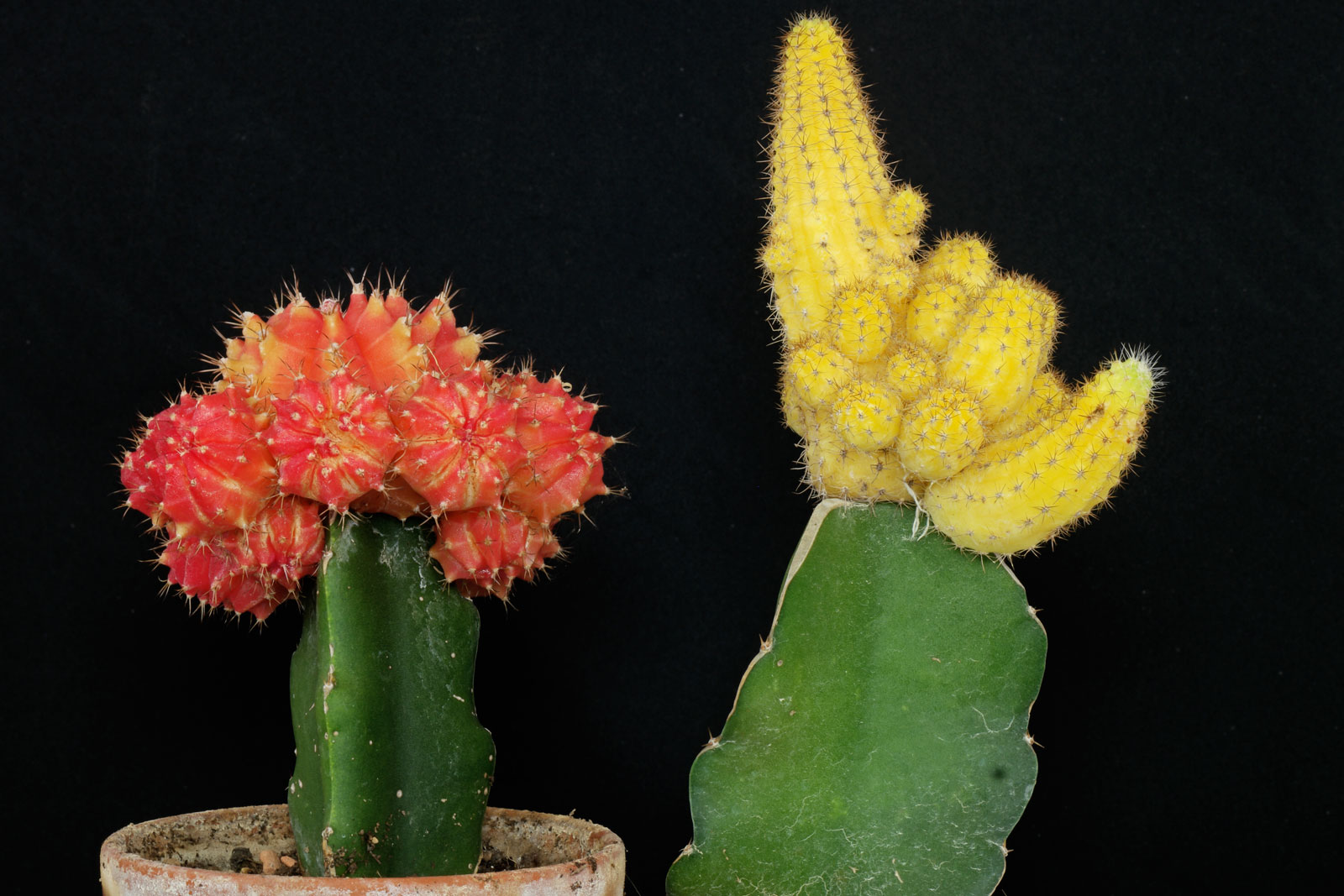 Gymnocalycium-Echinopsis