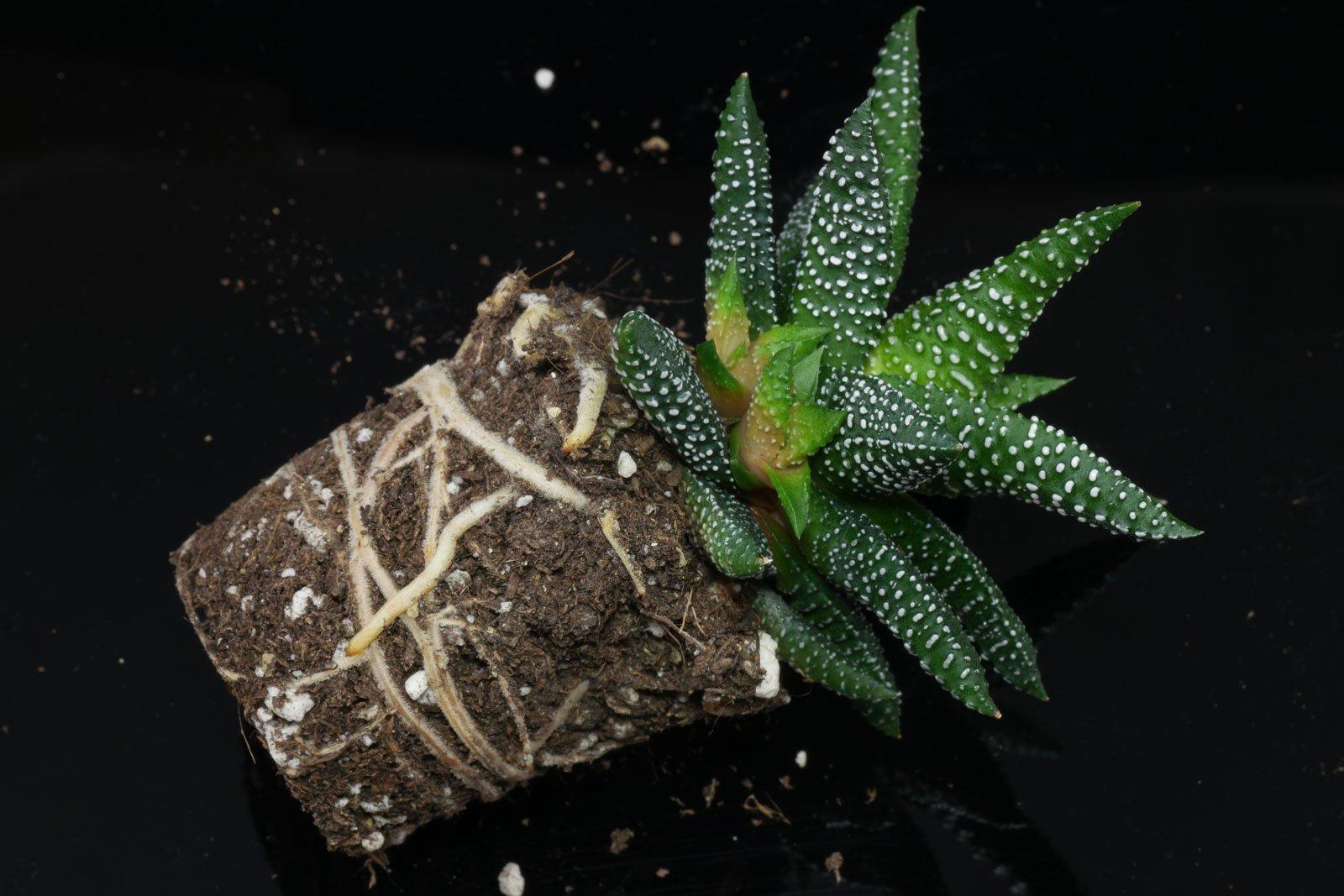 Haworthiopsis (Haworthia) attenuata Enon