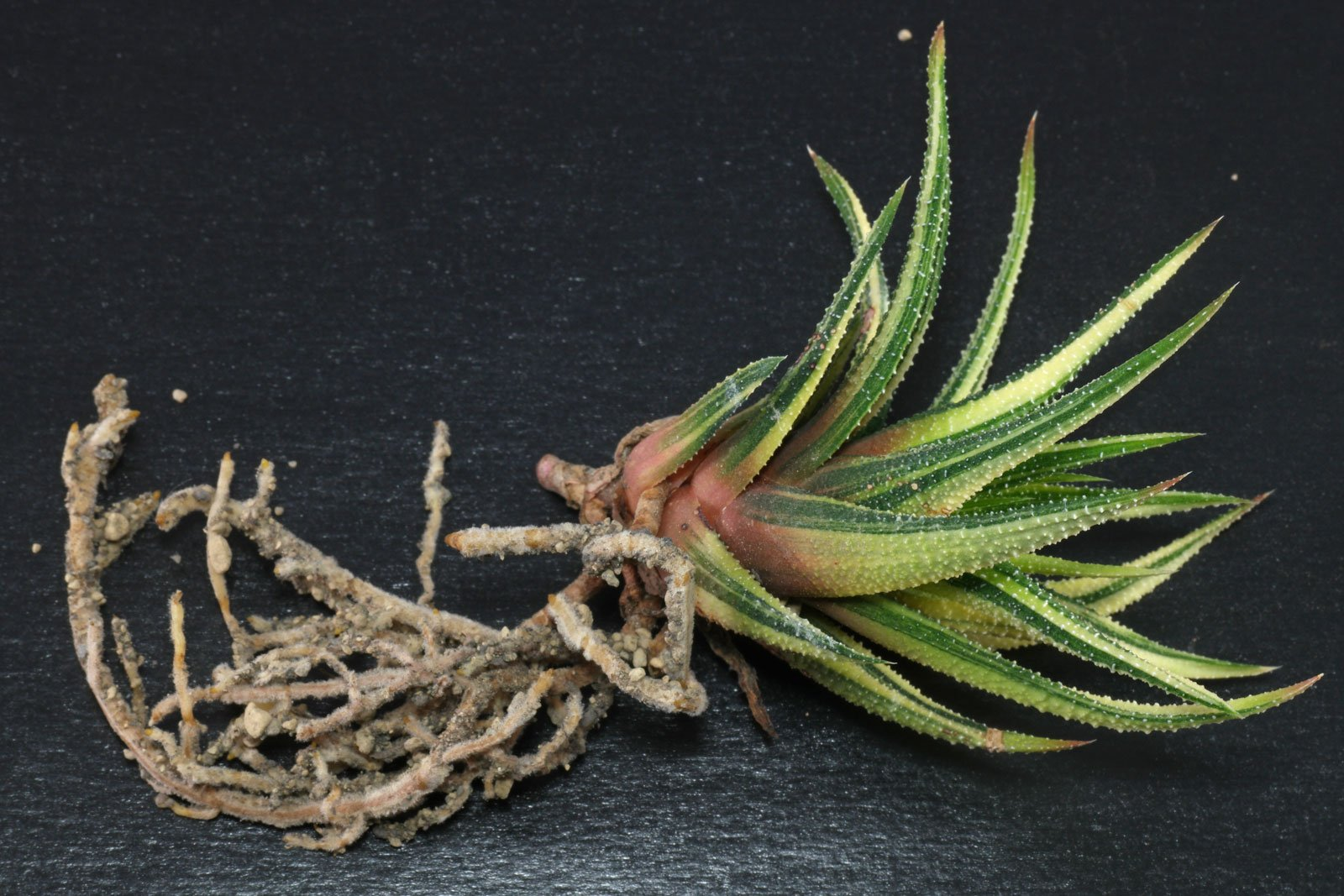 Haworthiopsis (Haworthia) attenuata Variegata