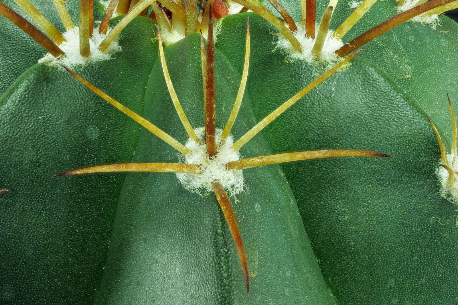 Melocactus bahiensis