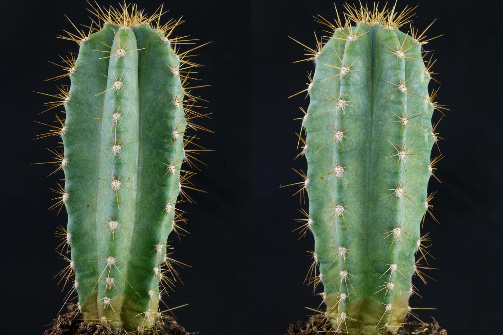 Pilosocereus pachycladus