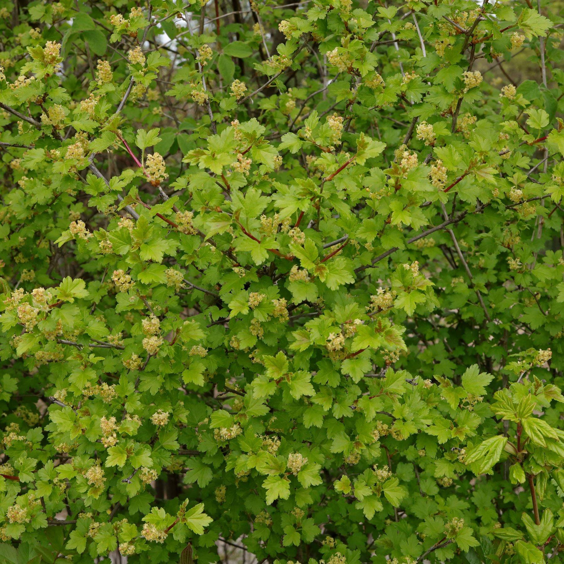 Ribes alpinum