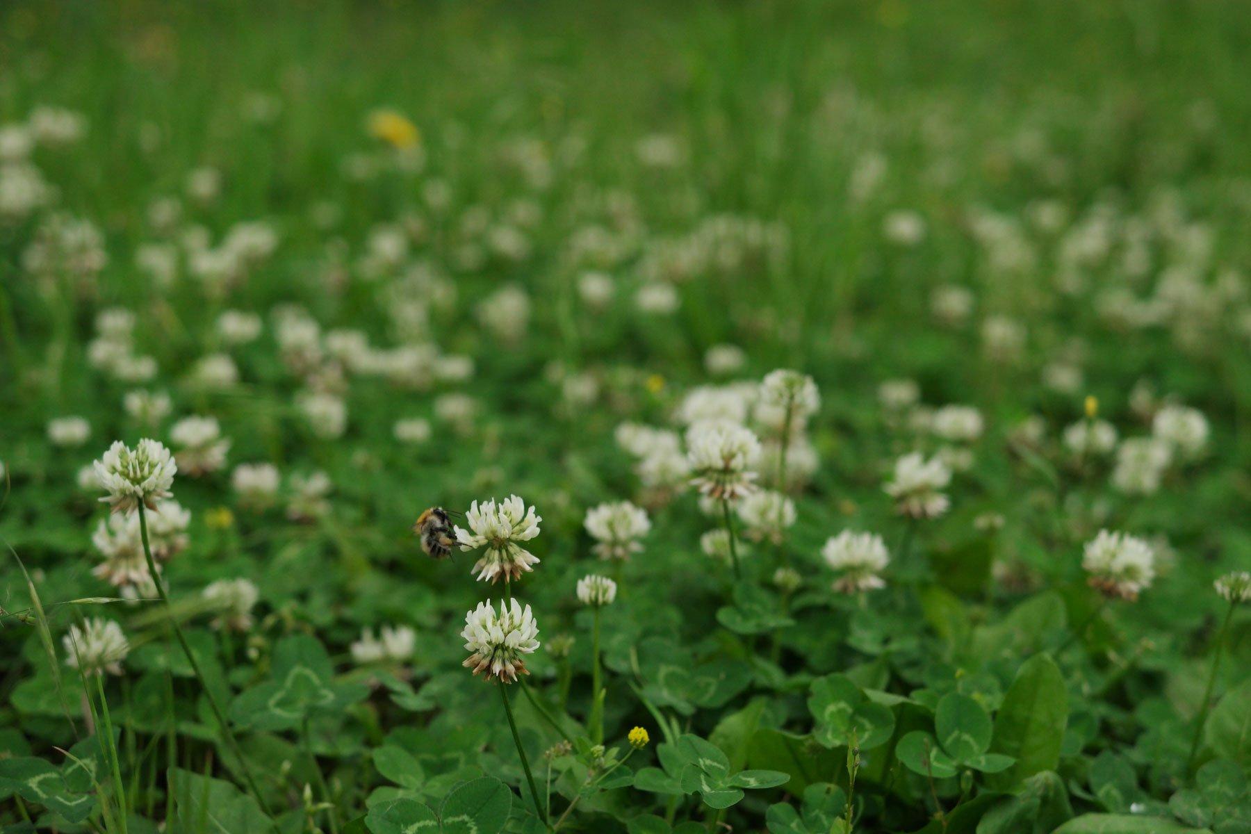 Weissklee mit Wildbiene