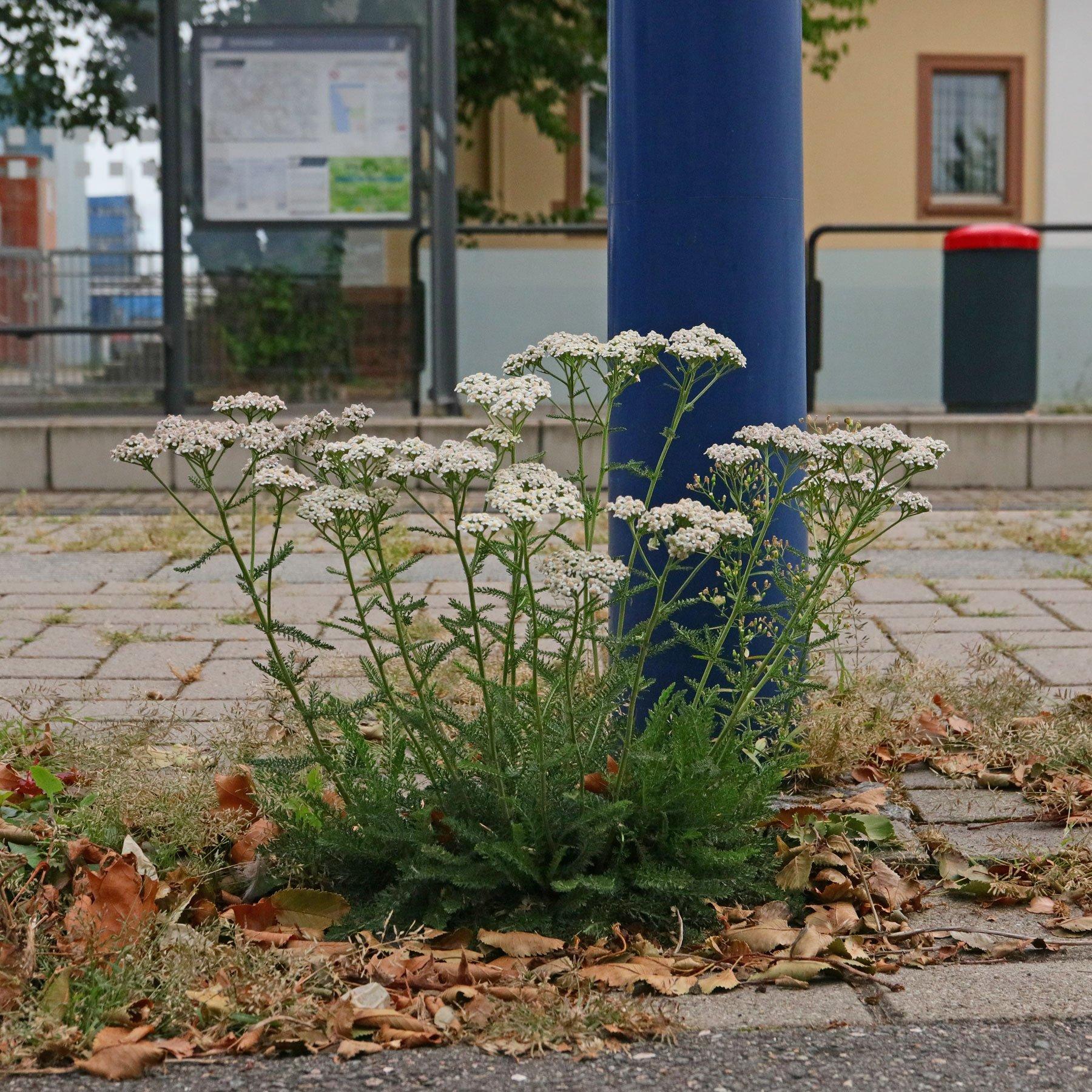 Schafgarbe an Strassenbahnhaltestelle