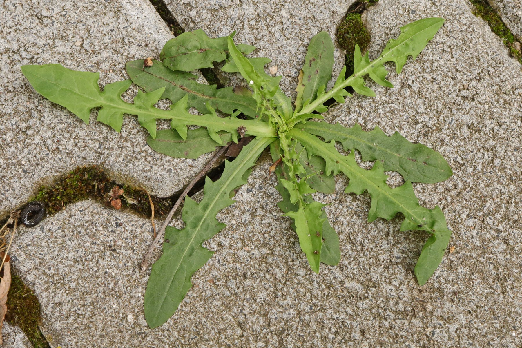 Crepis capillaris